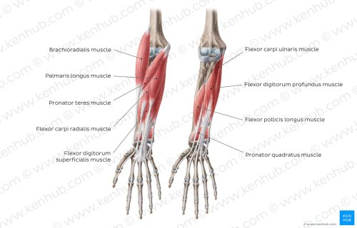 small resolution of flexors of the forearm overview