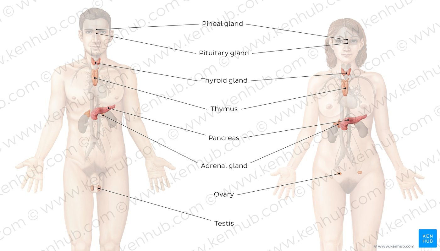endocrine system diagram blank pyramid 5 pictures anatomy kenhub overview