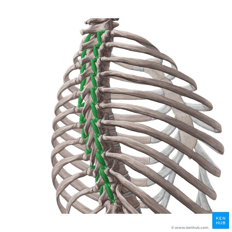 Anatomy Muscle And Multifidus Rotator