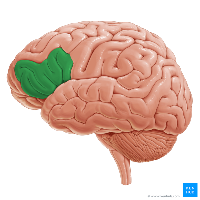 orbital frontal dorsal lateral brain diagram parts of the insula 06 nissan altima stereo wiring inferior gyrus (gyrus frontalis inferior) | kenhub
