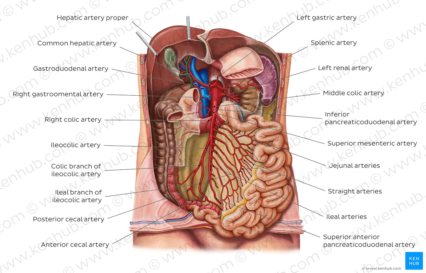 hight resolution of arteries of the small intestine overview