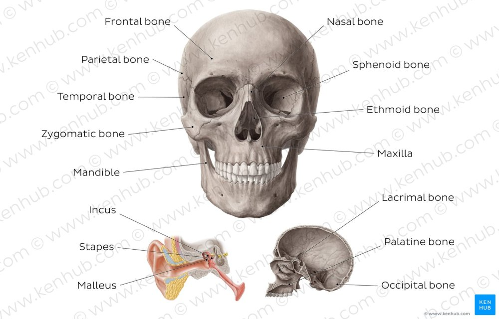 medium resolution of main bones of the head overview