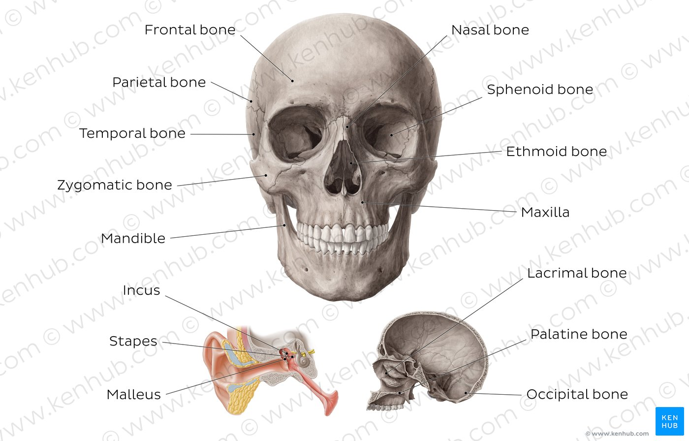 hight resolution of main bones of the head overview