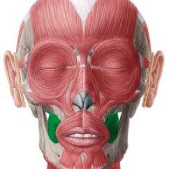 Muscles Of Facial Expression Diagram Marlin Glenfield Model 60 Parts Bilder: Gesichtsmuskulatur (anatomie) | Kenhub