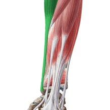 Diagram  Pictures: Flexors of the forearm (Anatomy)   Kenhub