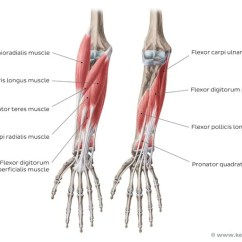 Forearm Bones Diagram Best Strat Wiring Diagrams Elbow And Muscles Anatomy Kenhub Of The Flexors
