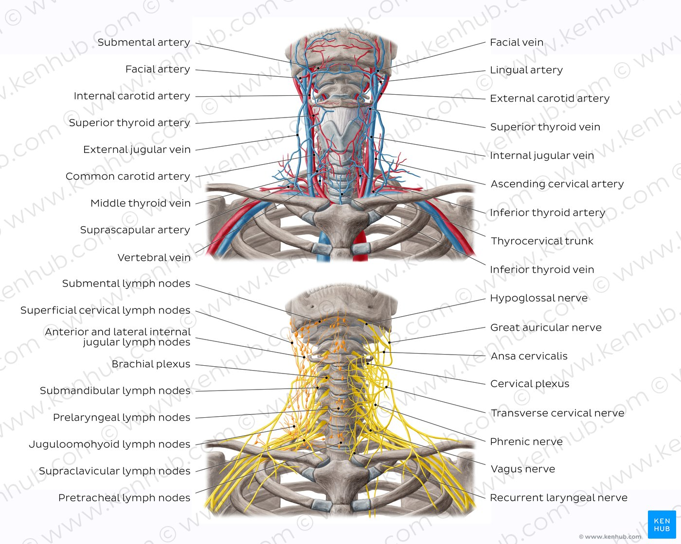 hight resolution of neurovasculature and lymph nodes of the neck overview