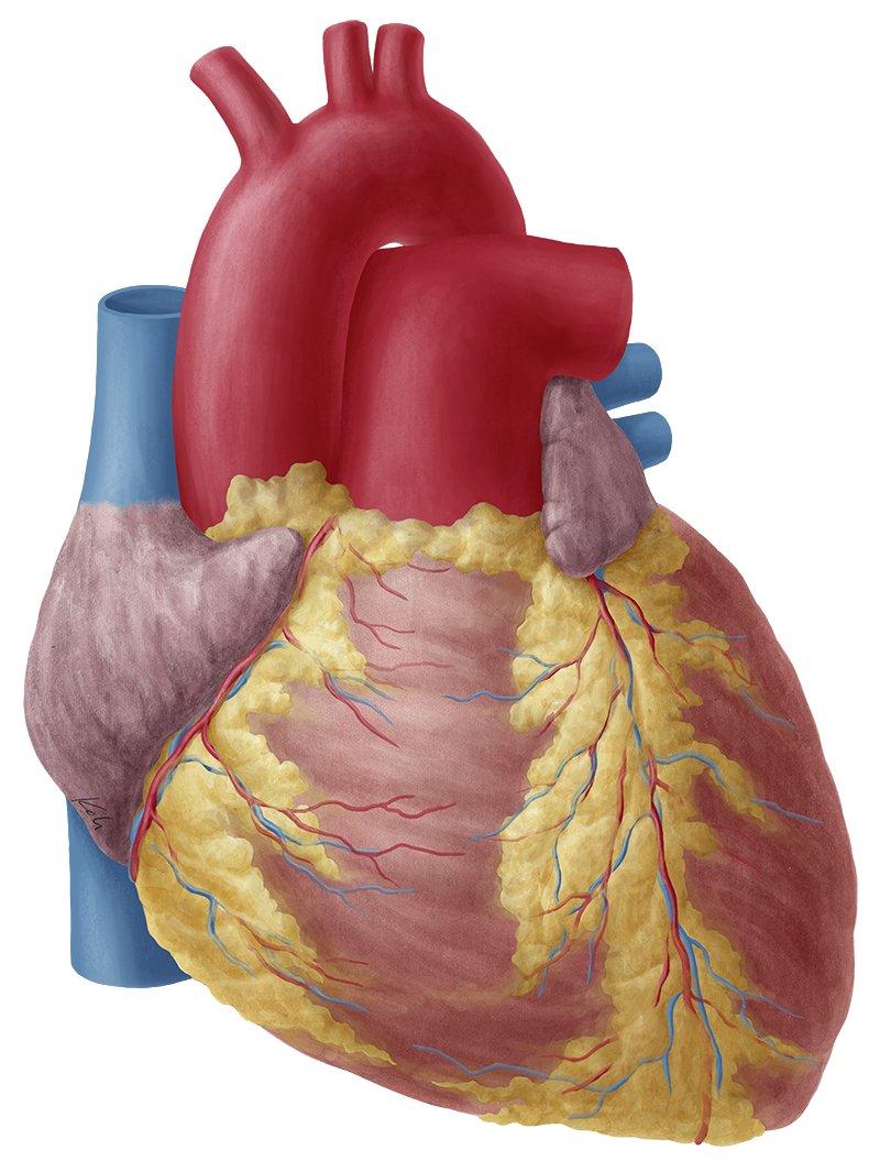 Heart Anatomy Study Guide Kenhub