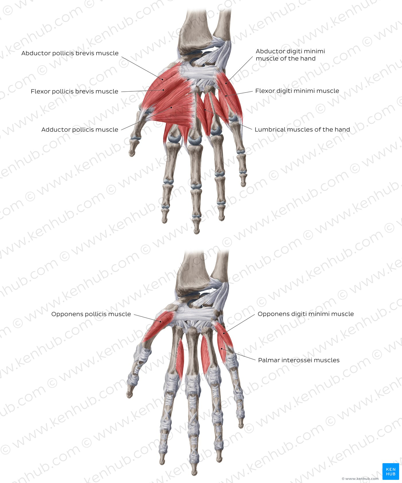 hand muscles diagram how to read wiring diagrams motorcycle pictures of the anatomy kenhub