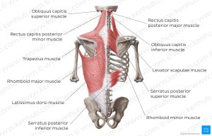 Diagram  Pictures: Superficial muscles of the back (Anatomy)   Kenhub