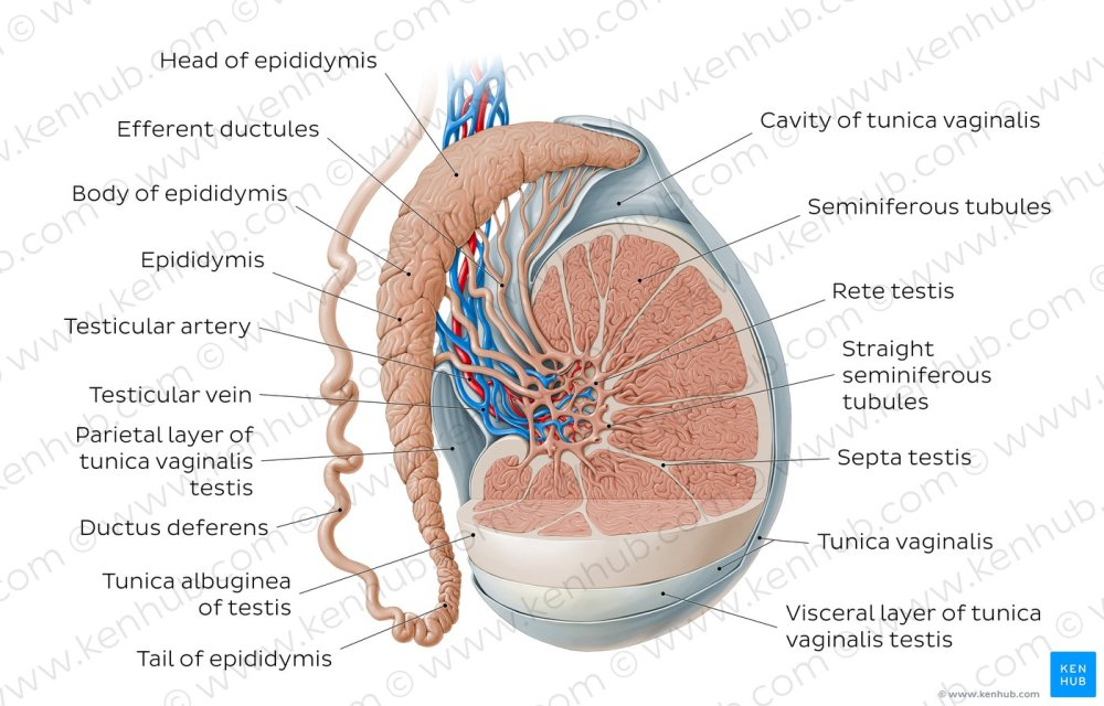 medium resolution of testis and epididymis overview