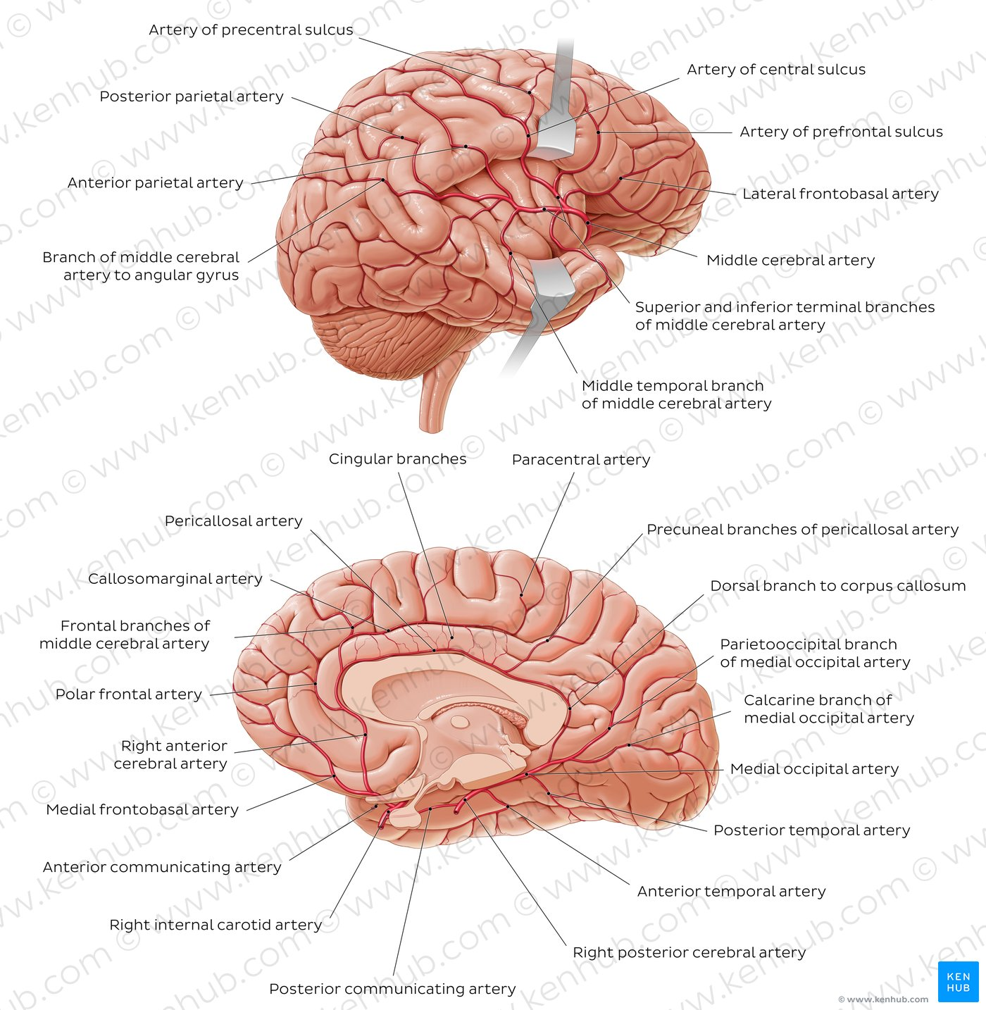 right lateral brain diagram wiring for autometer tach pictures arteries of the anatomy kenhub