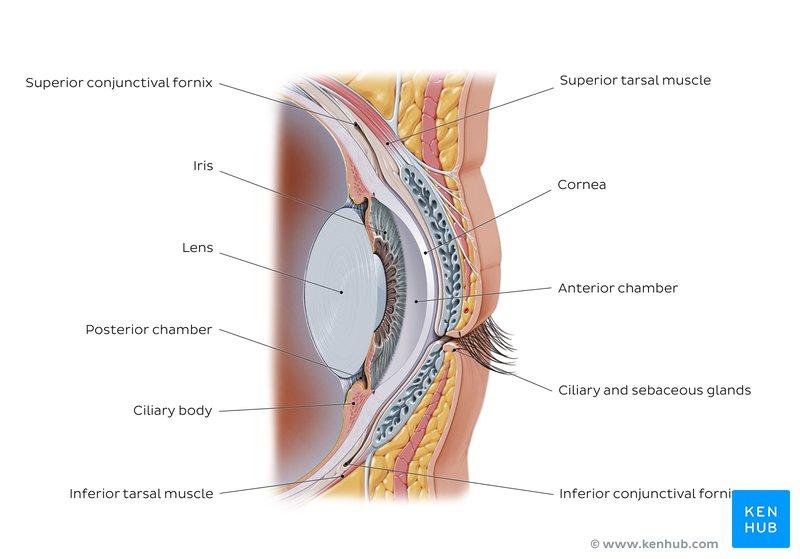 Eye - Anatomy, Functions, Muscles, Composition | Kenhub