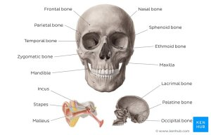 Head and Neck Anatomy  Structures, Arteries & Nerves   Kenhub