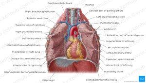Diagram  Pictures: Lungs in situ (Anatomy) | Kenhub