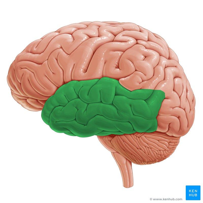 right lateral brain diagram unlabelled of the cranium temporal lobe (lobus temporalis) | kenhub