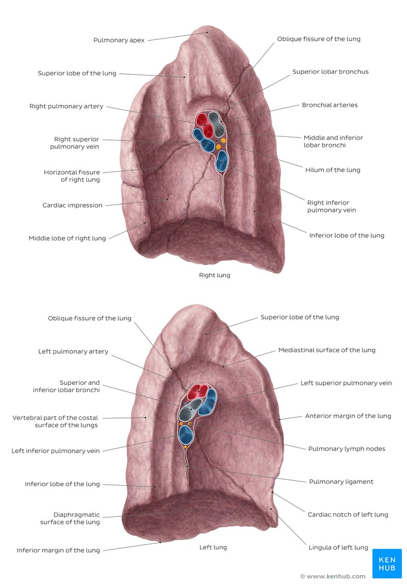 hight resolution of overview of the medial surface of the lung