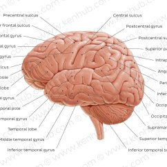 Brain Diagram Inferior Venn Explained Pictures Lateral Views Of The Anatomy