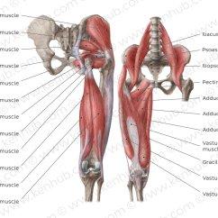 Upper Arm Muscles Diagram Kenwood Kdc 248u Wiring Basic Anatomical Including Bones And Major Muscle
