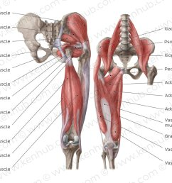 muscles of the hip and thigh overview [ 1400 x 896 Pixel ]