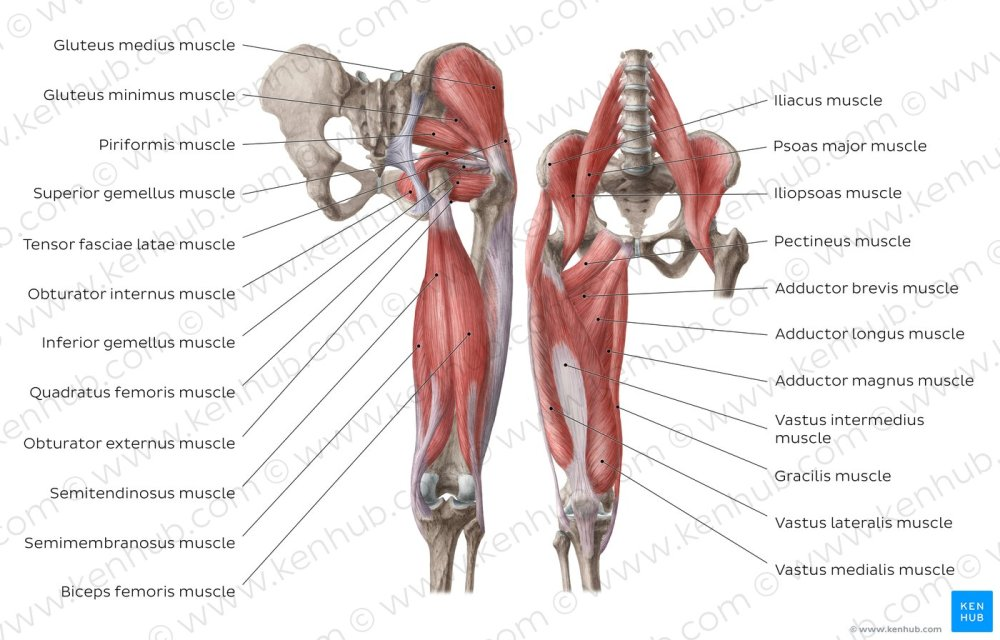 medium resolution of muscles of the hip and thigh overview