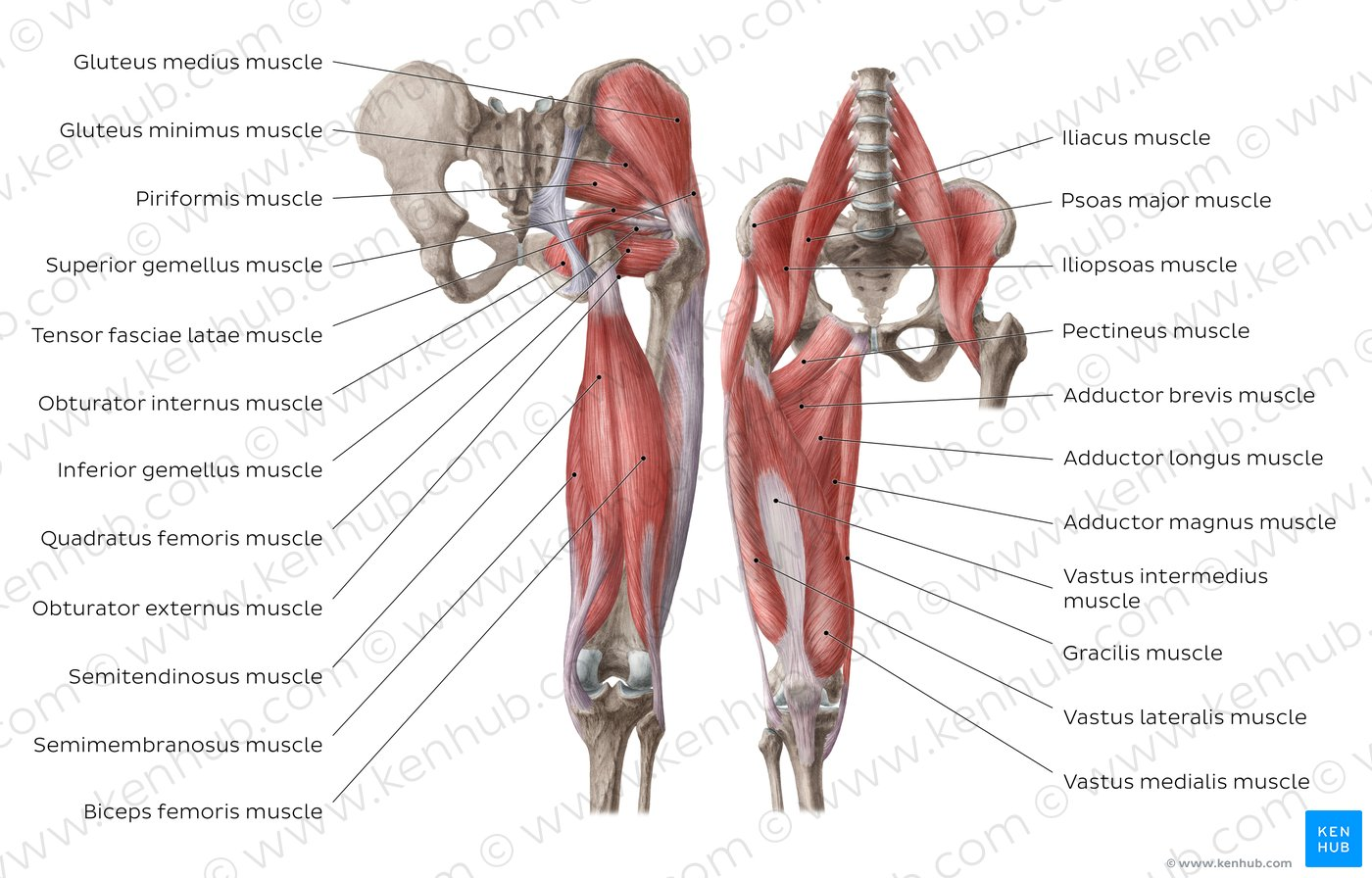 hight resolution of muscles of the hip and thigh overview