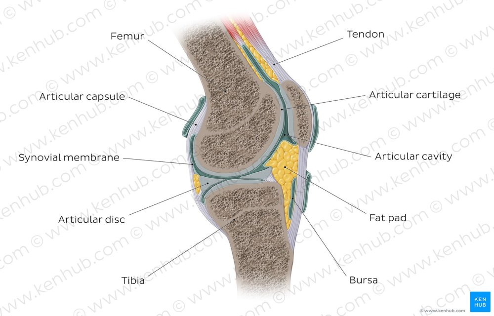 medium resolution of synovial joint overview