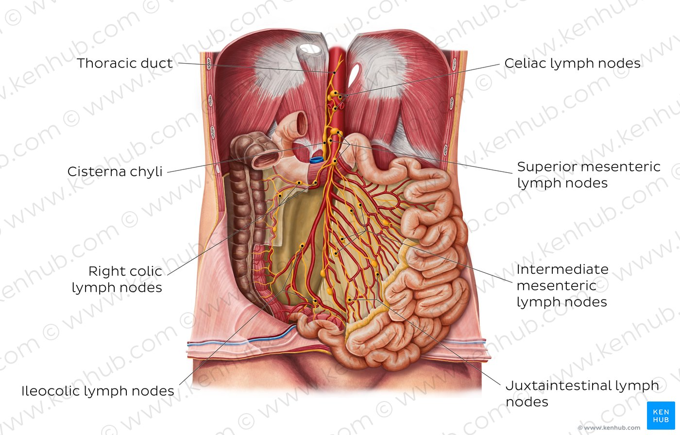 hight resolution of diagram pictures lymph nodes of the small intestine anatomy