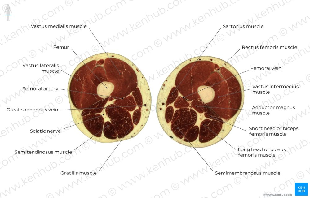 medium resolution of gracilis muscle level overview