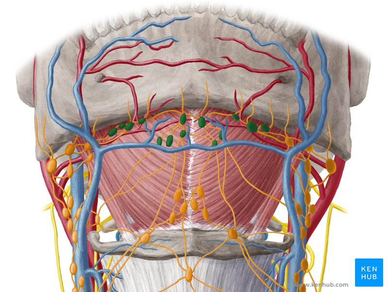 diagram lymph nodes on back of head trailer plug wiring 5 pin the neck and arm kenhub submental ventral view
