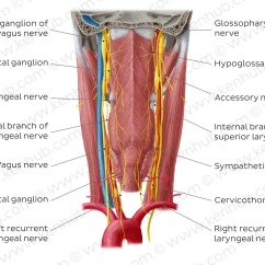 Vagus Nerve Diagram Track And Field Pictures Nerves Of The Pharynx Anatomy Kenhub