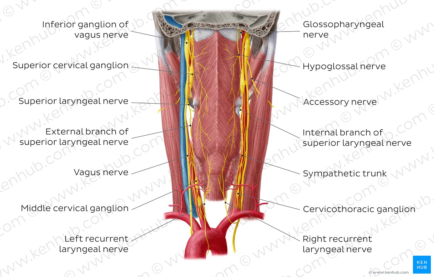 hight resolution of nerves of the pharynx overview