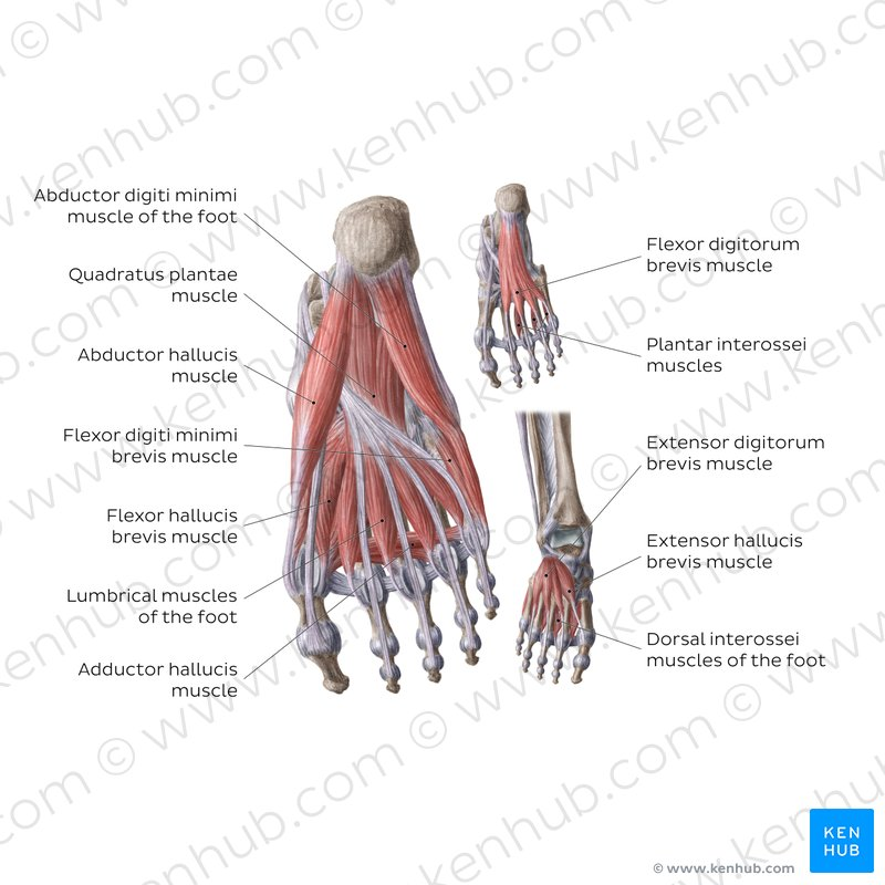 muscle diagram dorsal viper 5900 wiring muscles of the foot anatomy function kenhub