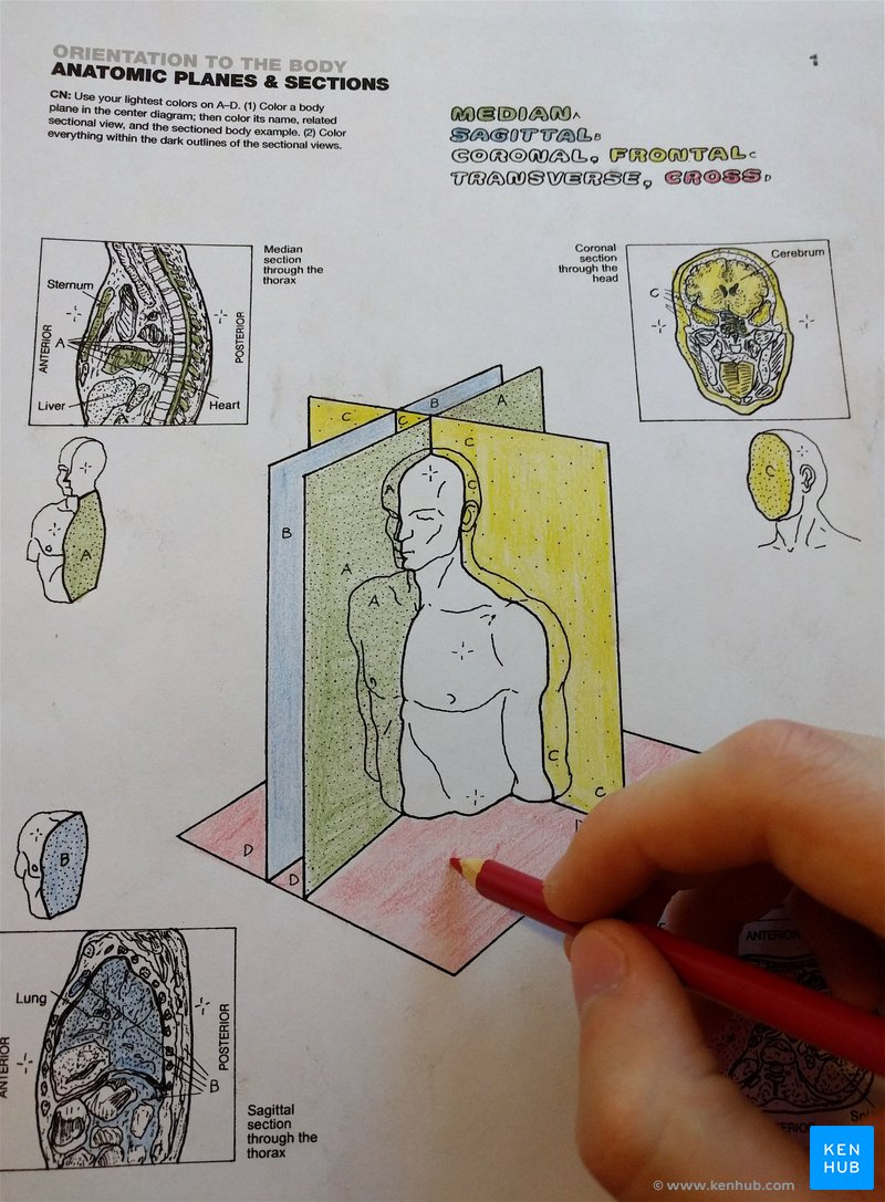 Human Anatomy Coloring Book.pdf : human, anatomy, coloring, book.pdf, Anatomy, Coloring, Books:, Kenhub