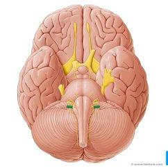 Vagus Nerve Diagram Bathroom Extractor Fan Wiring Anatomy Function Branches Kenhub Caudal View