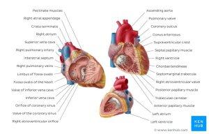 Heart (right and left atrium): Anatomy and function | Kenhub