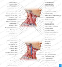 triangles of the neck overview [ 1400 x 1512 Pixel ]