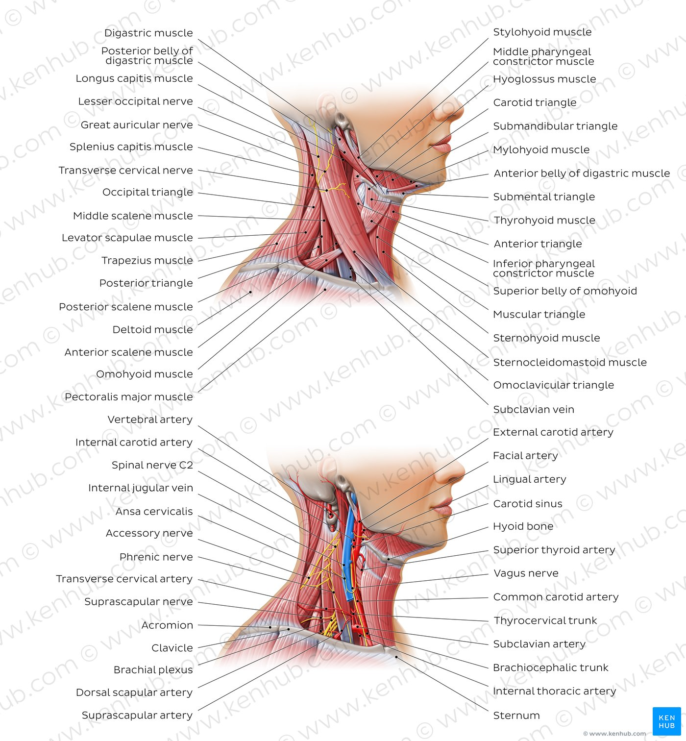 hight resolution of triangles of the neck overview
