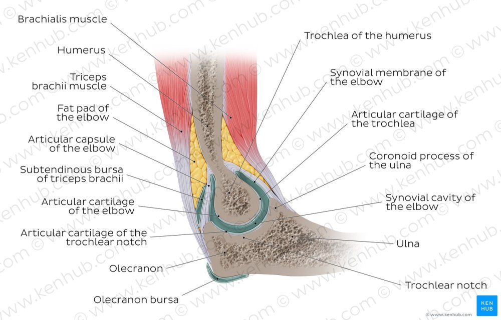 medium resolution of elbow joint sagittal view overview