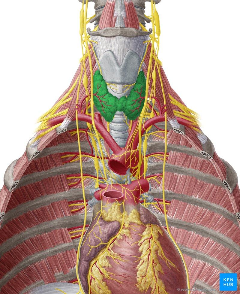 Parathyroid Anatomy Gross