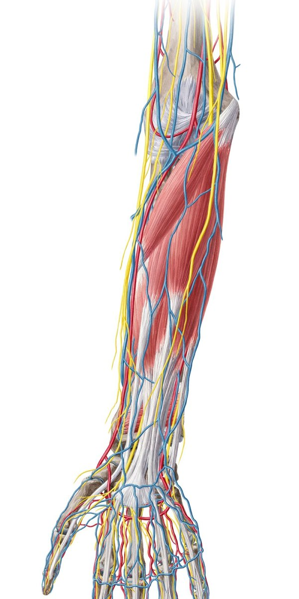 20 Picture Of Lower Arm Vascular Anatomy Pictures And Ideas On Meta
