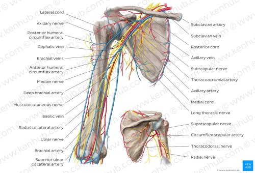 small resolution of neurovasculature of the arm and the shoulder overview axillary artery