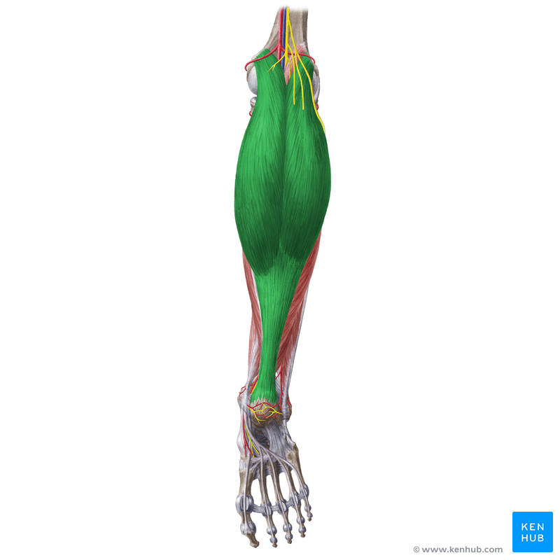 Lateral And Medial Head Gastrocnemius