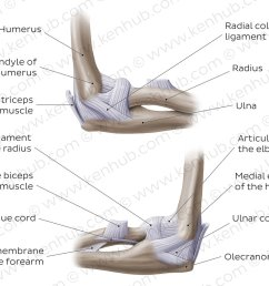 elbow joint overview [ 1400 x 896 Pixel ]