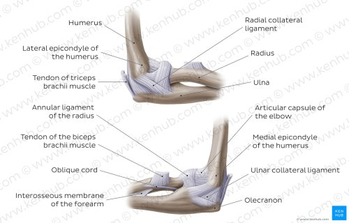 small resolution of elbow joint overview