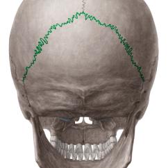 Bones Of The Skull Anterior View Diagram Stamford Generator Wiring Cranial Sutures - | Kenhub