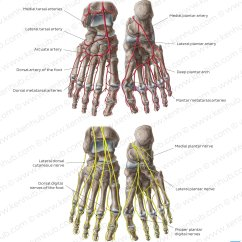 Veins In The Foot Diagram Cloudstack Architecture Pictures Arteries And Nerves Of