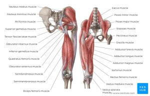 Learn All Muscles with Quizzes and Labeled Diagrams | Kenhub