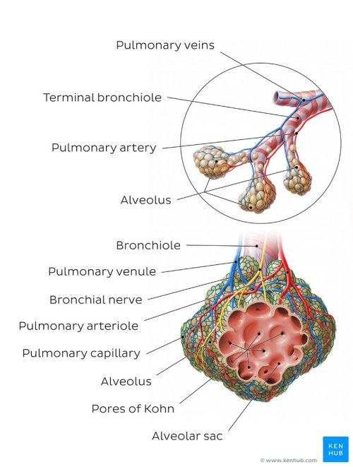 small resolution of overview of an alveolus