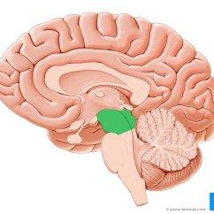 Brain Diagram Pons John Deere 445 Wiring Midbrain And Anatomy Location Parts Definition Kenhub